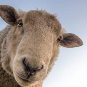 bodembedekking schapen