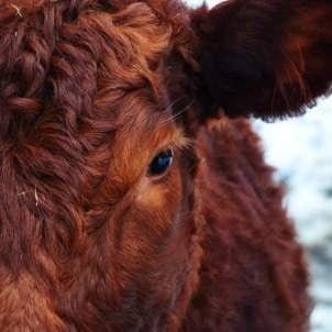 Bodembedekking koeien